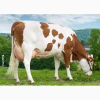Сперма биків породи Монбельярд