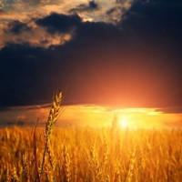 Купим пшеницу 2-4 класса. Самовывоз авто по договоренности