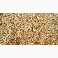Продам льон Золотистий