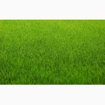 Продам семена Газонная трава (суміш газонна) -спортивный, теневой, униве рсал
