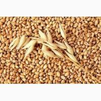 Пшеница классовая