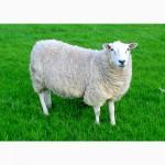Куплю баранов овец для забоя