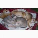 Питомник Абиссинских кошек BURLESK ABY предлагает котят шоу класса