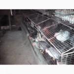 Инкубационное яйцо барвыстых и доминант