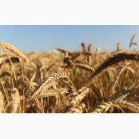 Куплю пшеницу оптом. Вся Украина