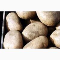 Качественный картофель оптовыми поставками от производителей