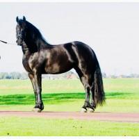 Красивая черная женская фризская лошадь для продажи i