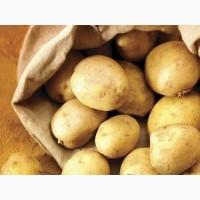 Куплю посадочную Ривьеру, самовывоз. Интересуют так же другие сорта семенной картошки