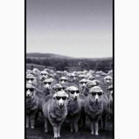 Овцы Романовской породы на ЭКСПОРТ