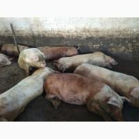 Свині м#039;ясний породи