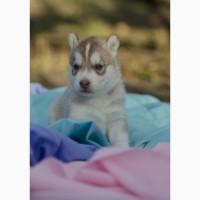 Продам щенков сибирского хаски