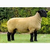 Продаж овець, баранів, ягнята породи Суффолк, Суффольк