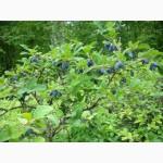 Жимолость (Камчатська ягода) саджанці