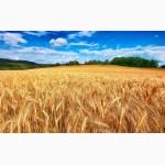 Закупка пшеницы.Крупый Опт