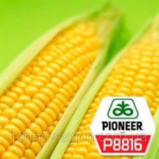 Семена кукурузы P8816