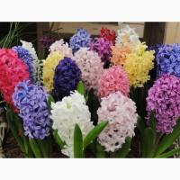 Цветы оптом гиацинт к 8 Марта (разные цвета)