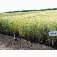 Білосніжка-Белоснежка пшеница озимая сильный сорт