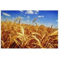 Семена озимой пшеницы Шестопаловка, Шпаловка, Сталева, Подолянка, Дарунок Подилля и др