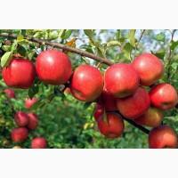 Продам яблоки сортовые от производителя: Фуджи, Гала, Грин Стар