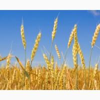 Куплю пшеницу и кукурузу оптом