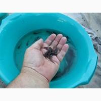 20-ти денна личинка коропа, білого амура, толстолоба, сома