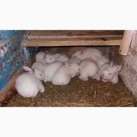 Кролі Термонці, Термонська біла