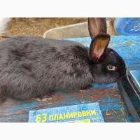 Продам кролика черного цвета