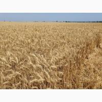 Продам насіння ультраранньої озимої пшениці