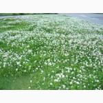 Семена Клевера белого ползучьего. Медонос, газонное растение