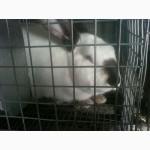 Продам кроликов на содержание