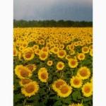 Посевной подсолнечник под евролайтинг 2017 Аракар, Заклык семена подсолнуха Элита