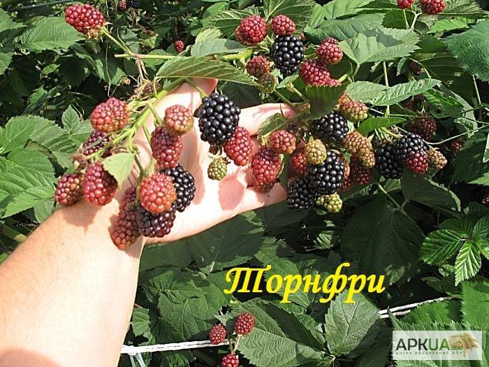Ежевика и условия выращивания 450