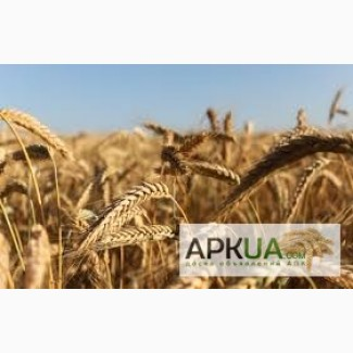 Куплю пшеницу классовую и фуражную