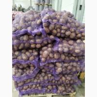 Продажа оптом товарного картофеля