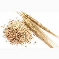 Куплю зерно Ячменя, а так же Пшеницу классовую и фураж c места от 100т