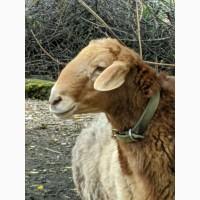 Продам барана и ярку курдючной породы Эдельбай