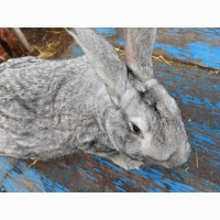 Продам серого цвета кролика