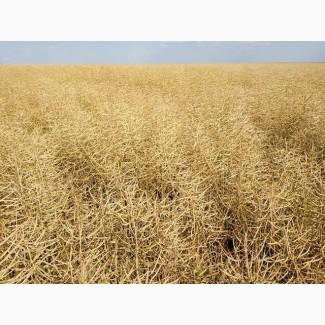 Озимый рапс под раундап Полярис 3л/га., Высокоурожайный гибрид рапса Полярис 32-37ц/га