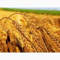 Продам посевной материал озимой пшеницы Юмпа (супер элита) Краснодарская селекция