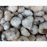 Продам чеснок сорт Мессидор (Messidor) озимый раннеспелый высокоурожайный