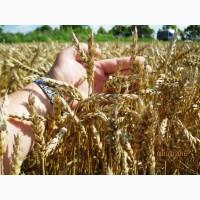 Пшениця-Дворучка ЛЕННОКС (Штрубе) - альтернативна пшениця для осінньо-весняного посіву