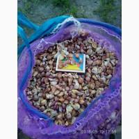 Продам воздушку (повітряну кульку) насіння часнику сорту Любаша