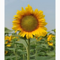 Продам семена подсолнечника НС Таурус (толерантен к евролайтнингу) (Нови Сад/NS Seme)
