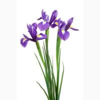 Цветы ирисы оптом к 8 Марта