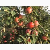 Продам яблука Спартан Монтуан Айдарет