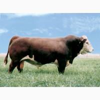 Быки, коровы на мясо
