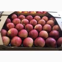 Продам яблука: Голден, Ред Чіф, Фуджі, Пінова