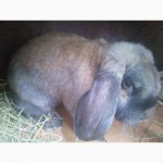 Кролики Французского Барана