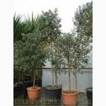 Продам растения Фейхоа (комнатное растение)