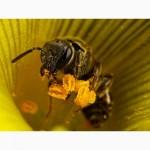 Двух столовых ложек мёда хватило бы пчеле, чтобы один раз облететь вокруг земного шара